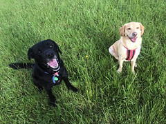Sonic and Bella (Wozza_NZ) Tags: dogs dog labrador labradors riverbank silverstream huttriver upperhutt wellington nz newzealand walk sit