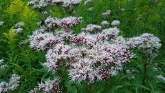 Balderjāņi kaut kur Saulkrastos (andris_emils) Tags: valerian herbs saulkrasti latvia flowers outside