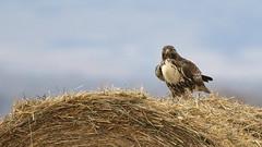 They Always Watch (Bill G Moore) Tags: naturephotography birdofprey redtailhawk raptor wild life canon colorado hay