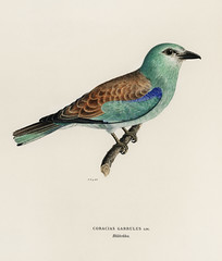 Coracias Garrulus Lin (European Roller) by Magnus Von Wright (1836), an isolated portrait of an European roller. Digitally enhanced from our own original plate. (Free Public Domain Illustrations by rawpixel) Tags: otherkeywords animal antique art avian beak beautiful bird birdeye branch bright chromolithograph color colorful coracias coraciasgarruluslin craws creature cute drawings europeanroller exotic feathers gorgeous illustrated illustration isolated lithograph magnusvonwright nature old painting perched perching plate print retro sitting sketch tree vintage zoology