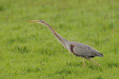 Purple Heron (Paul van Mil) Tags: natuurfotografie purperreiger vogel bird wildlife heron