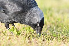 Jackdaw close up (adbecks) Tags: wildlife uk birds nikon d500 300 pf close up