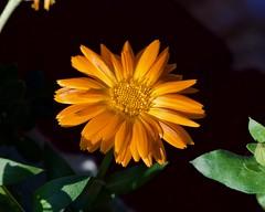 Botanic Garden (DC) (swanson.matt) Tags: flower garden nature botanical diasey yellow plant conservatory
