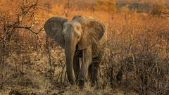 Tuskless elephant at sunset (Sheldrickfalls) Tags: elephant elephantcalf elephantcow sunset mopani mopanicamp mopanirestcamp krugernationalpark kruger krugerpark limpopo southafrica