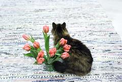 DSC_0576-1 (Khallik) Tags: tulips tulip kitty cat pet cuddly pink