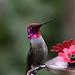 Hummingbird (noneinc) Tags: