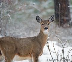 Hey Buddy Turn Up That Thermostat Would Ya ? (jimgspokane) Tags: today´sbest deer otw
