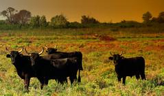Mais qu'est ce qui m'a pris de m'habiller en rouge ! (Le.Patou) Tags: world100f france camargue bouches du rhône etang de vaccarès étang delta fz1000 nature pond taureau noir regard prairie bull black look gaze meadow