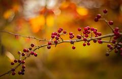 Berry ... (Julie Greg) Tags: autumn autumn2018 tree colours canon nature nautre berry