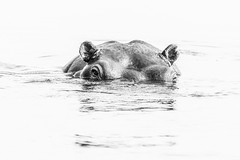 Hippo (Thomas Retterath) Tags: thomasretterath nature natur 2018 safari nopeople fluss chobe botswana africa afrika river wildlife hippopotamus hippo flusspferd hippopotamidae pflanzenfresser herbivore säugetier mammals animals tiere hippopotamusamphibius highkey
