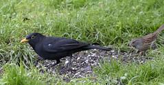 Blackbird (2) (Mal.Durbin Photography) Tags: wildlifephotography maldurbin naturephotography wildbirds forestfarm nature naturereserve