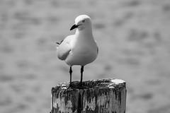 Seagull on the beach (Merrillie) Tags: woywoy sand beak gull bills nature australia newsouthwales animal nsw beach wildlife feathers bird monochrome blackandwhite waterfront fauna centralcoast silvergull seagull