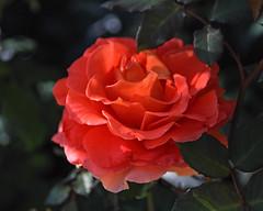 2018 Autumn rose (shinichiro*) Tags: 20181102sdim6767 2018 crazyshin sigmasdquattroh sdqh sigma1770mmf284dcmacrohsm november autumn yokohama 横浜イングリッシュガーデン rose flower macro 32070639818 3966937 201811gettyuploadesp