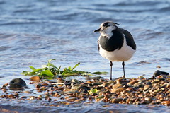 Lapwing-7D2_0409-001 (cherrytree54) Tags: lapwing rye harbour east sussex canon sigma 7d 150600