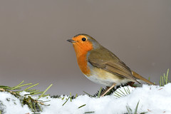 Robin (Hishyar H.) Tags: bird nature wildlife winter snow snowing rotkehlchen nikonafs200500mmf56eedvr bamberg deutschland vogel tier songbird nikon animal naturephotography