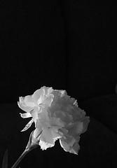 Solo (jHc__johart) Tags: bw monochrome carnation