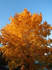 maple autumn (cloversun19) Tags: rain animal field grass landscape branches leafs foliage sky russia russian spb tree walking country holiday holidays park garden dream dreams positive forest happy view grey legend fairytale fir firtree birch village evening romantic october september car road street blue maple leaves town city light sun yellow autumn trees gold