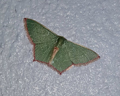 Unidentified small green moth 2 (SierraSunrise) Tags: thailand phonphisai nongkhai isaan esarn animals insects moths small lepidoptera