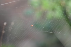 Argyrodes en tela de Argiope trifasciata (esta_ahi) Tags: penedès torrellesdefoix barcelona spain españa испания aranya araña spider arachnida fauna argyrodes dewdropspider arañagotasderocío cleptoparásita theridiidae comensales comensalismo