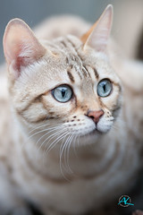 Lucy <3 (Andreas Krappweis - thanks for 3 million views!) Tags: bengal mink white snow bengals spotted bengalcat eye portrait closeup shallowdof bokeh purebreed outdoor domesticcat garden winter canoneos30d canonef135mm120l
