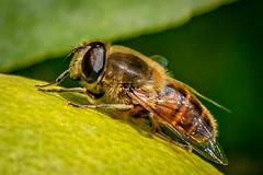 Tábano (posado sobre un limón) (munover) Tags: d3400 insectos valencia macrofotografía picadura