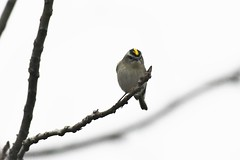 Golden-crowned kinglet (j shew) Tags: goldencrownedkinglet