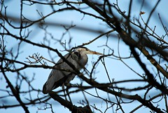 Hiding in the trees (Squatbetty) Tags: greyheron myrtlepark bingley riveraire nikond3000