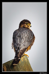 Merlin Framed-102 (billthomas_steel) Tags: hawksharriersospreysandfalcons merlin falcocolumbarius bird wildlife taiga fraservalley britishcolumbia canada canon eos7dmarkii falcon raptor