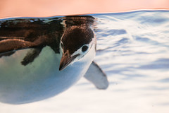 20190111 Nagoya Aquarium 8 (BONGURI) Tags: 名古屋市 愛知県 日本 jp penguin chinstrappenguin ペンギン ヒゲペンギン float floating 浮く 漂う ただよう light 明るさ water 水 海水 水槽 aquarium portofnagoyaaquarium portofnagoya 名古屋港水族館 名古屋港 水族館 minatoward 港区 nagoya 名古屋 aichi 愛知 nikon d850 afsnikkor2470mmf28ged