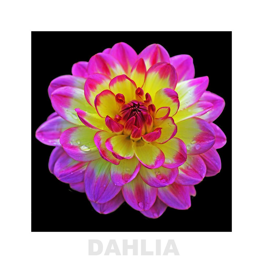 The World S Best Photos Of Dahlia And Rose Flickr Hive Mind