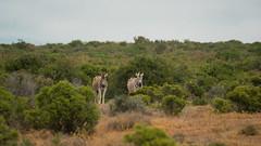 DSC08759 (Paddy-NX) Tags: 2019 20190109 addoelephantnationalpark africa sony sonya77ii sonyalpha sonyalphaa77ii sonysal70300g southafrica wildlife zebra