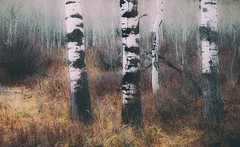 Aspen Trunks (MontanaRoots (aka Craig)) Tags: montana redlodge aspen trees trunks grove bark autumn