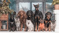 Dog Squad (Bobby Acree) Tags: goldendoodle groupportrait cattledog spaniel italiangreyhound volpinoitaliano pug doberman pet dog dogs dogsquad