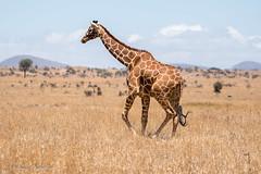 Lewa Conservancy, Kenya (sharon.verkuilen) Tags: africa kenya lewaconservancy safari sonya7rii giraffe reticulatedgiraffe