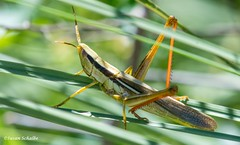 Sleek lines and design (Photosuze) Tags: grasshoppers insects bugs colorful animals nature wildlife twostripedmermiria