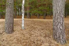 Kiefern mit Birke (claudipr0) Tags: lettland baltikum latvia strand ostsee sea beach balticsea kiefern birken birch pinetrees saulkrasti