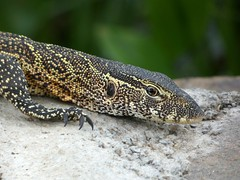 Nile monitor - Varanus niloticus (Linda DV) Tags: varanusniloticus nilemonitor varanidae reptilia lindadevolder africa 2018 lumix travel geotagged nature kenya fauna baringo lake