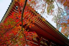 Autumn_colors (gnsk) Tags: voigtlander voigtländer super wideheliar 15mm f45 swh cosina japan fujifilm fuji 富士フイルム xe1 maple 紅葉