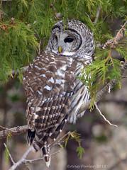 Barred Owl (Arvo Poolar) Tags: outdoors ontario canada arvopoolar bird birdofprey raptor owl barredowl nature naturallight natural nikond7000 naturephotography wildlife perched trees whitby