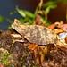 Brown Leaf Chameleon (Brookesia superciliaris)