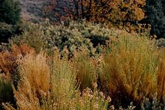 Calaveras County, CA (bingley0522) Tags: nikkormatft3 nikkor50mmf18 ektar100 murphys calaverascounty thanksgivingweekend sierrafoothills brush autaut querencia ordinarythings commonplacethings