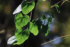 (katyearley) Tags: canonrebelt6 vines depth light shadows green leaf leaves