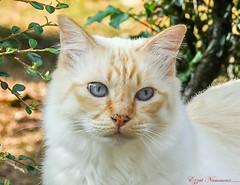 La chatte de ma voisine (Ezzo33) Tags: chat cat france gironde nouvelleaquitaine bordeaux ezzo33 nammour ezzat sony rx10m3 mammifère animal animaux mammifères