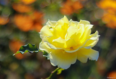yellow rose (Christine_S.) Tags: bokeh rose cosmos orange nature garden japan winterrose canon eos mirrorless m5 coth coth5