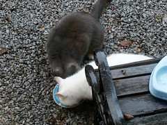 Sharing food (House Of Secrets Incorporated) Tags: cat cats pets animal animals greycat sok whitecat pluisje britishshorthair