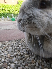 There goes the last bit of the dandelion leaf (eveliensbunnypics) Tags: bunny rabbit lop lopeared polly outdoor outside backyard patio dandelion leaf leaves greens eating nomming nom noms face closeup whiskers eye jun whiskerdimples dimples