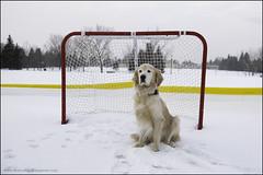 12-12 Bruno: the goalie (Dave (www.thePhotonWhisperer.com)) Tags: 12monthsfordogs 12monthsforbruno bruno dog goldenretriever hockey net ringette winter canada