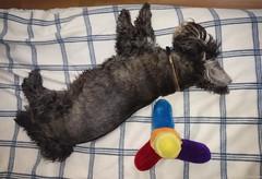 Sleeping Peacefully (ttarpd) Tags: tigger dog pet canine faithful four legged friend companion scottish terrier jack russell domestic animal
