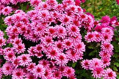 Asters Autumn Flowers (Kapitalist63) Tags: autumn season colour bunt park city rest green yellow trees bush wood view look travel trip nature air outdoor route flowers color asters