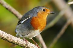 Robin (eric robb niven) Tags: ericrobbniven scotland robin wildlife wildbird nature dundee tentsmuir springwatch